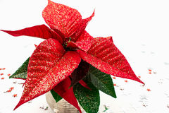 Poinsettia Lizenzfreie Stockfotos