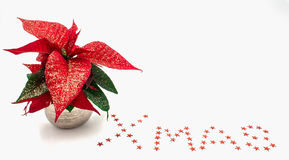 Poinsettia Стоковые Изображения RF