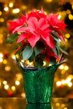 Poinsettia Стоковая Фотография