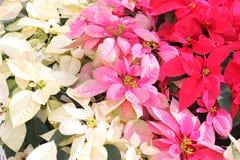 Poinsettia Стоковое Фото