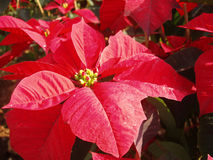 Poinsettia Royalty Free Stock Images