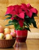 Poinsettia. Christmas starr Euphorbia pulcherrima Euphorbiaceae plant care Royalty Free Stock Images