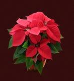 Poinsettia. Christmas starr Euphorbia pulcherrima Euphorbiaceae plant care Stock Photography
