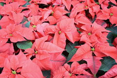 Poinsettia. Background of poinsettia Christmas flowers Stock Photo