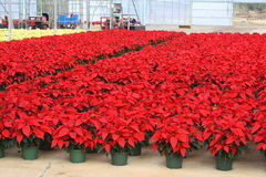 Poinsettia. Thousands of beautiful poinsettia flowers are ready for the market stock photos