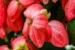 Poinsettia Стоковые Изображения