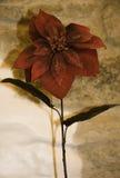 Poinsettia Immagini Stock
