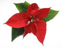 Poinsettia. Red poinsettia on white background Royalty Free Stock Photo