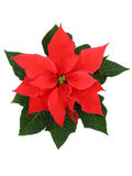 Poinsettia. Flower stock photo