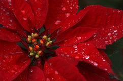 Poinsettia. Close up of red poinsettia royalty free stock image