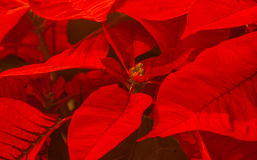 poinsettia Fotografia Stock