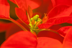 poinsettia Photographie stock libre de droits
