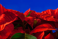poinsettia fotografie stock