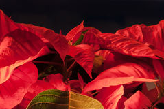 poinsettia Stock Foto