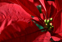 Poinsettia. Close up of a Christmas holiday live poinsettia plant with red leaves and buds. Shallow depth of field Royalty Free Stock Images