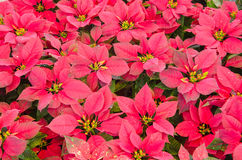 poinsettia Stockfoto