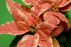 Poinsettia image stock