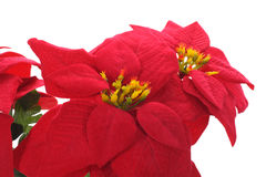 Poinsettia Stockfotos