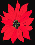 Poinsettia. Red poinsettia flower with black background Royalty Free Stock Photos
