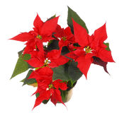 Poinsettia Fotografia de Stock Royalty Free