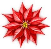 Poinsettia. Illustration of poinsettia flower Christmas star Stock Image