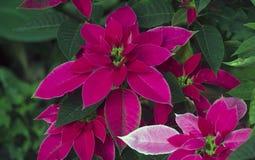 Poinsettia: Christmas Star stock images