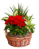 Poinsettia arrangement Stock Photos