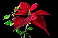 Poinsettia auf Schwarzem Lizenzfreie Stockfotos