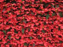 Poinsettia background. Many poinsettia christmas wallpaper background Stock Image