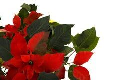 Poinsettia Background on White Royalty Free Stock Image