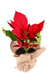 Poinsettia in bag Royalty Free Stock Photography