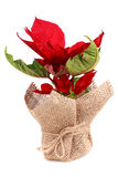 Poinsettia in bag Stock Photos