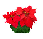 Poinsettia in basket Royalty Free Stock Photos