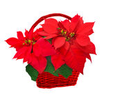 Poinsettia in basket Royalty Free Stock Photography