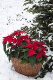 Poinsettia blüht im Korb mit dem schneebedeckten Weihnachtsbaumhintergrund stockbilder