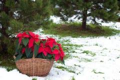 Poinsettia blüht mit dem schneebedeckten Weihnachtsbaumhintergrund lizenzfreies stockbild