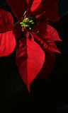 Poinsettia with Black Background. Close up vertical of live Poinsettia plant with vibrant red leaves and black background. Christmas holiday houseplant. Shallow Stock Photos