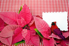 Poinsettia blossoms with cardinal Stock Images