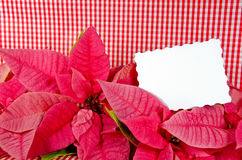 Poinsettia blossoms on gingham Royalty Free Stock Photos