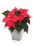 Poinsettia-Blumen Stockfotos