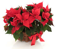 Poinsettia-Blumen-Anordnung Stockfotografie
