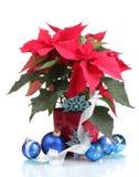 Poinsettia bonito com esferas do Natal Imagem de Stock