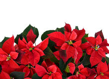 Poinsettia at the Bottom of Frame on White Royalty Free Stock Images