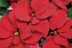 Poinsettia, bracteeën en bloemen royalty-vrije stock afbeeldingen