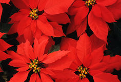 Poinsettia bundles Royalty Free Stock Image
