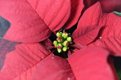 Poinsettia bush flowers Euphorbia pulcherrima stock photos