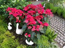 Poinsettia bush, Xmas tree, with ceramic duck and rock pathway in the garden. Lovely Poinsettia bush, Xmas tree, with ceramic duck and rock pathway in the garden Royalty Free Stock Photography