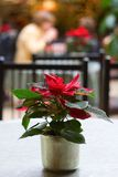 Poinsettia Cafe. A poinsettia decorates a table at a cafe during the holiday season royalty free stock images