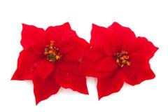 Poinsettia for christmas Stock Photo