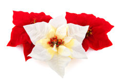 Poinsettia for christmas Royalty Free Stock Images